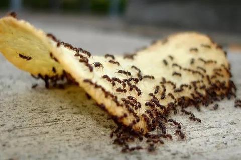Cara Ampuh Mengusir Semut Di Dapur Tanpa Gunakan Bahan Kimia Berbahaya